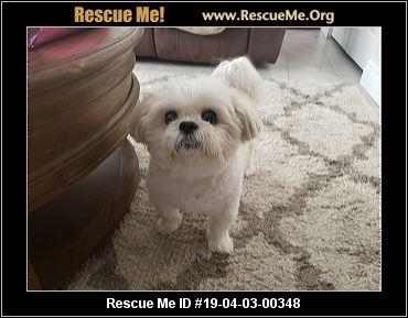 Florida Maltese Rescue Adoptions Rescue Me