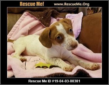 North Carolina Dachshund Rescue Adoptions Rescue Me