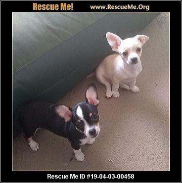 Ohio Chihuahua Rescue Adoptions Rescue Me