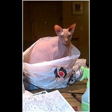 Oregon Sphynx Rescue - ADOPTIONS - Rescue Me!