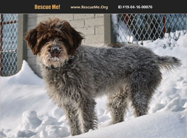 ADOPT 19041600076 ~ Wirehaired Pointing Griffon Rescue ...