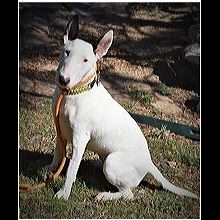 Mini Bull Terrier Puppies San Diego
