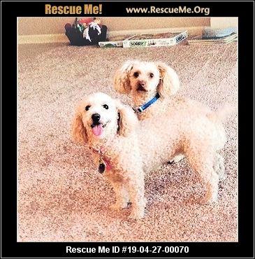 Kansas Bichon Frise Rescue - ADOPTIONS - Rescue Me!