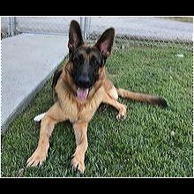 North Carolina German Shepherd Rescue - ADOPTIONS - Rescue Me!