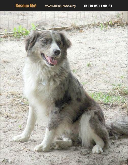 ADOPT 19051100121 ~ Australian Shepherd Rescue ~ Camden, SC