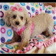 Tennessee Poodle Rescue Adoptions Rescue Me