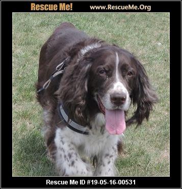 Springer Spaniel Rescue, Inc  - Las Vegas, NV - AVAILABLE PETS