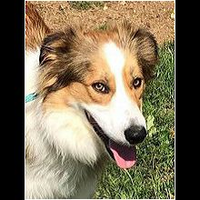 Pennsylvania Shetland Sheepdog Rescue - ADOPTIONS - Rescue Me!