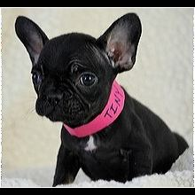 Wisconsin French Bulldog Rescue Adoptions Rescue Me