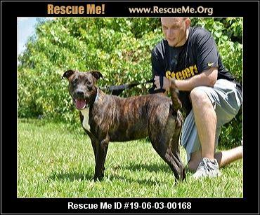 Florida Boston Terrier Rescue Adoptions Rescue Me