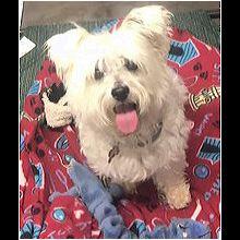 Ohio Westie Rescue - ADOPTIONS - Rescue Me!