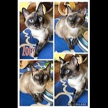 Illinois Siamese Rescue - ADOPTIONS - Rescue Me!