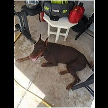 New York Doberman Pinscher Rescue - ADOPTIONS - Rescue Me!
