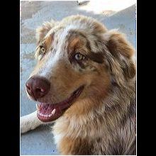 Oklahoma Australian Shepherd Rescue - ADOPTIONS - Rescue Me!