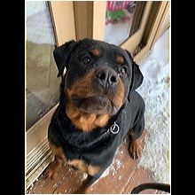 Rottweiler Rescue ― ADOPTIONS