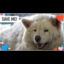 Chow Chow Rescue ― ADOPTIONS