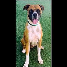 Georgia Boxer Rescue - ADOPTIONS - Rescue Me!