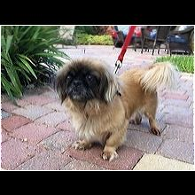 Pekingese Rescue ― ADOPTIONS