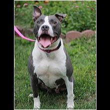 Pit Bull Rescue ― ADOPTIONS