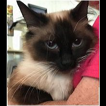 Kentucky Siamese Rescue - ADOPTIONS - Rescue Me!