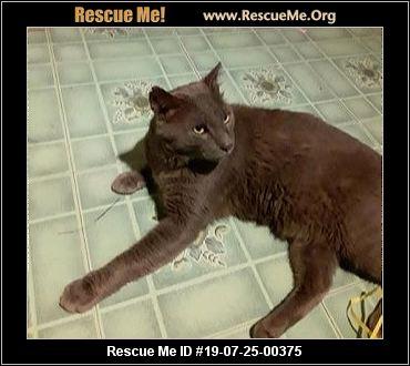 Arizona Russian Blue Rescue - ADOPTIONS - Rescue Me!