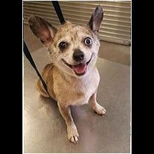 South Carolina Chihuahua Rescue - ADOPTIONS - Rescue Me!