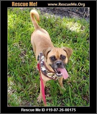 Florida Pug Rescue - ADOPTIONS - Rescue Me!