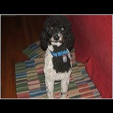 Florida Poodle Rescue - ADOPTIONS - Rescue Me!