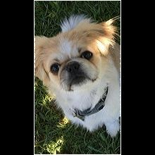 Illinois Pekingese Rescue - ADOPTIONS - Rescue Me!