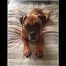 Boxer Rescue ― ADOPTIONS