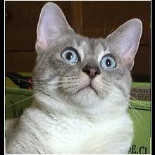 Texas Siamese Rescue - ADOPTIONS - Rescue Me!
