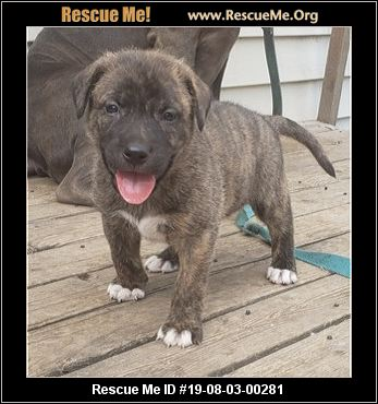 Blue Merle Pitbull Puppies For Sale 2018