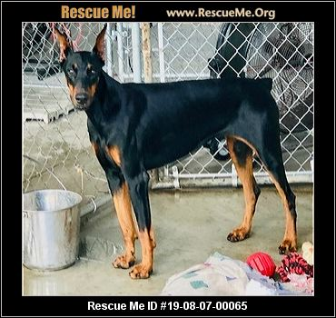 Florida Doberman Pinscher Rescue - ADOPTIONS - Rescue Me!