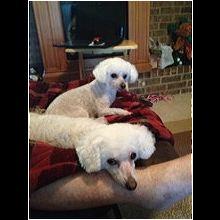 Massachusetts Bichon Frise Rescue - ADOPTIONS - Rescue Me!