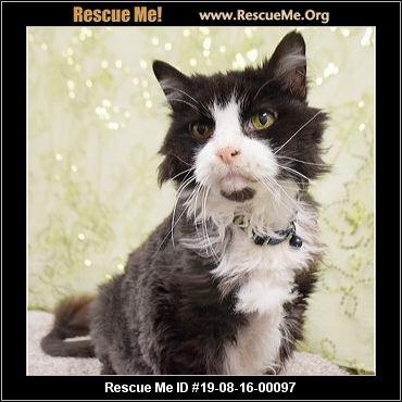 Illinois Maine Coon Rescue - ADOPTIONS - Rescue Me!