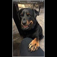 Australia Rottweiler Rescue - ADOPTIONS - Rescue Me!