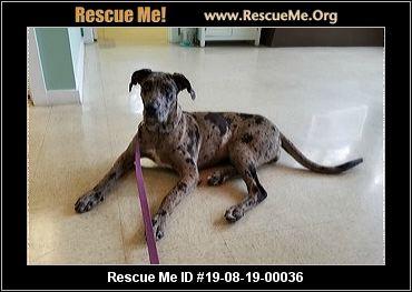 North Carolina Great Dane Rescue Adoptions Rescue Me