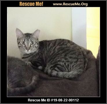 Tennessee Bengal Rescue - ADOPTIONS - Rescue Me!