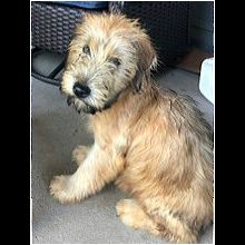 Colorado Soft Coated Wheaten Terrier Rescue Adoptions