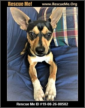 Georgia Miniature Pinscher Rescue - ADOPTIONS - Rescue Me!