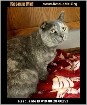 Ohio American Shorthair Rescue - ADOPTIONS - Rescue Me!