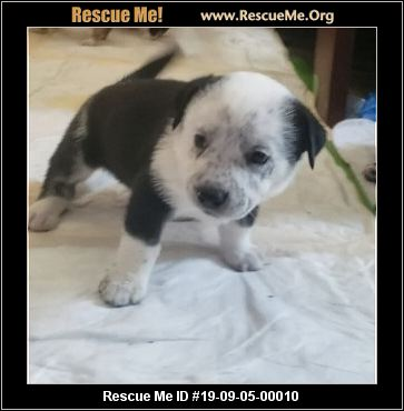 Texas Corgi Rescue - ADOPTIONS - Rescue Me!