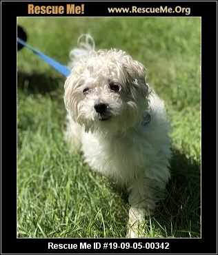 Illinois Poodle Rescue - ADOPTIONS - Rescue Me!
