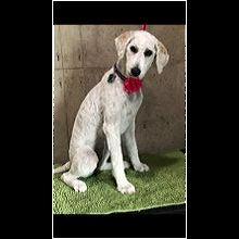 Maine Poodle Rescue Adoptions Rescue Me