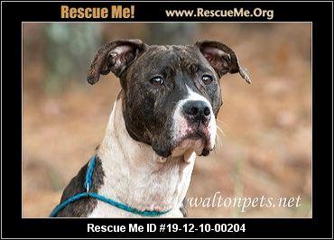 Georgia American Bulldog Rescue Adoptions Rescue Me