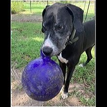 South Africa Great Dane Rescue Adoptions Rescue Me