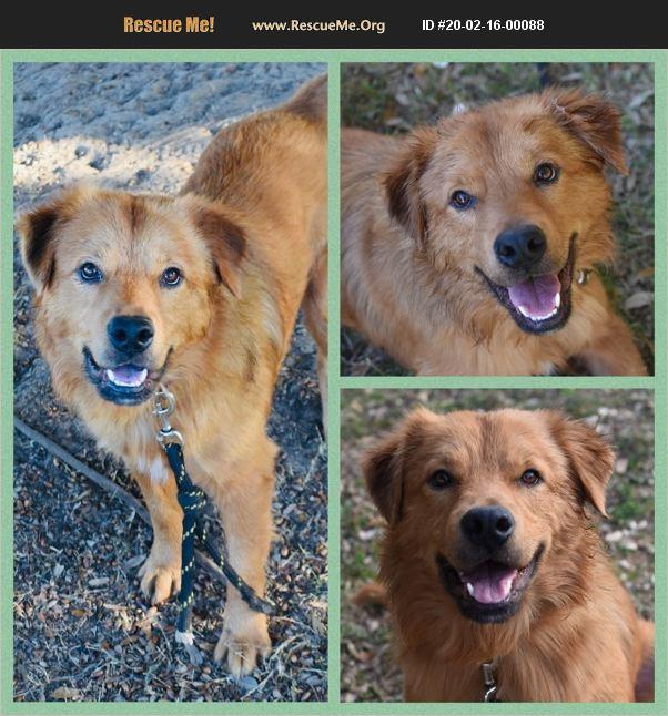 ADOPT 20021600088 ~ Golden Retriever Rescue ~ Cleveland, OH