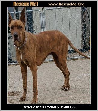 Michigan Great Dane Rescue Adoptions Rescue Me