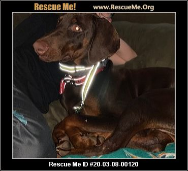 New York Doberman Pinscher Rescue Adoptions Rescue Me
