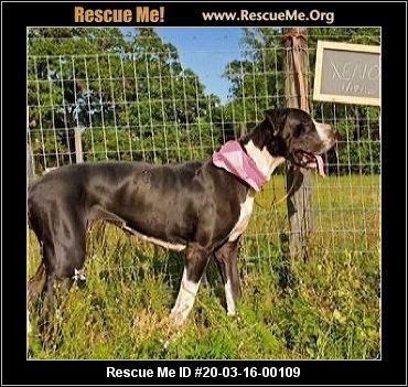 Florida Great Dane Rescue Adoptions Rescue Me